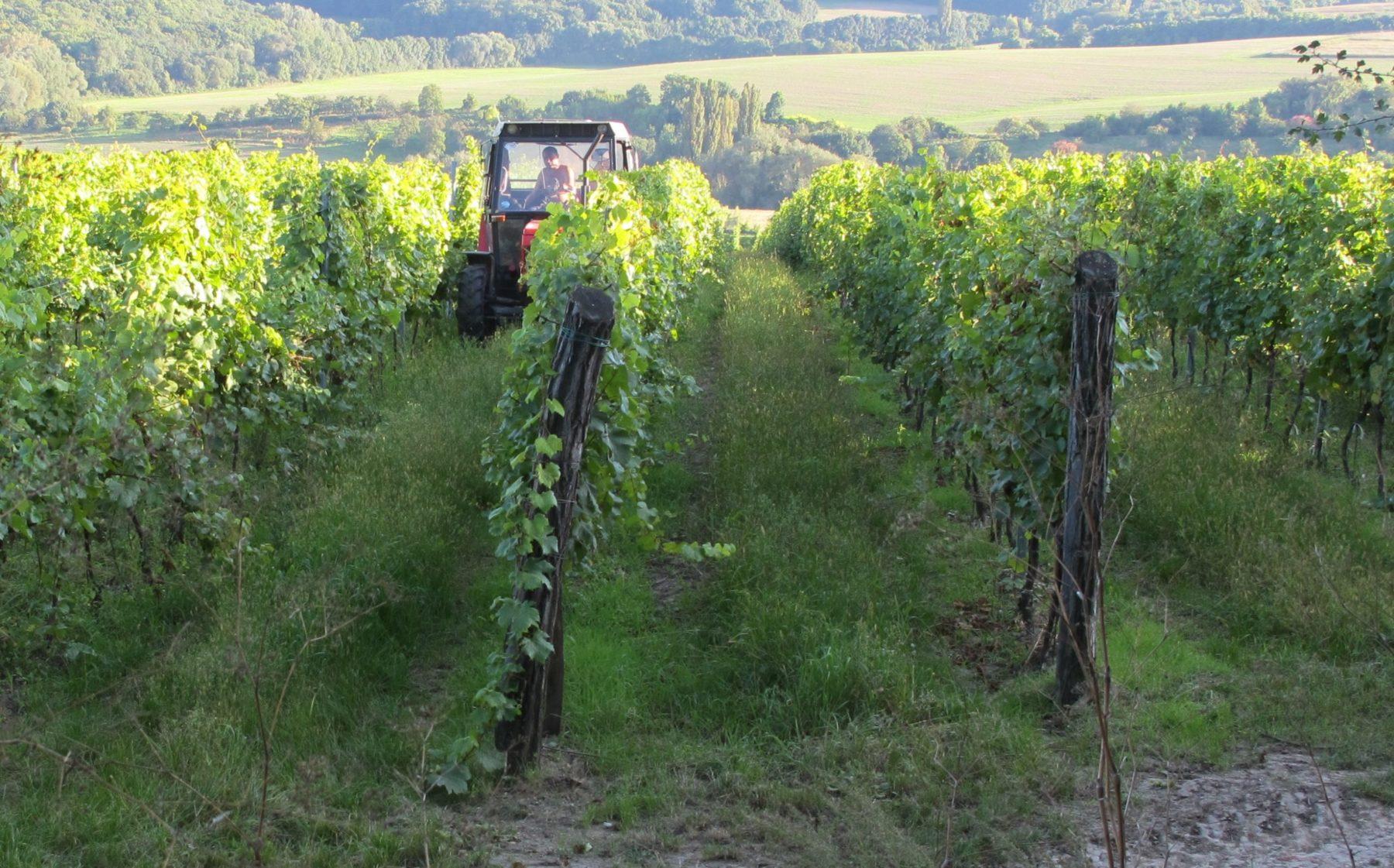 vineyard grapes scaled